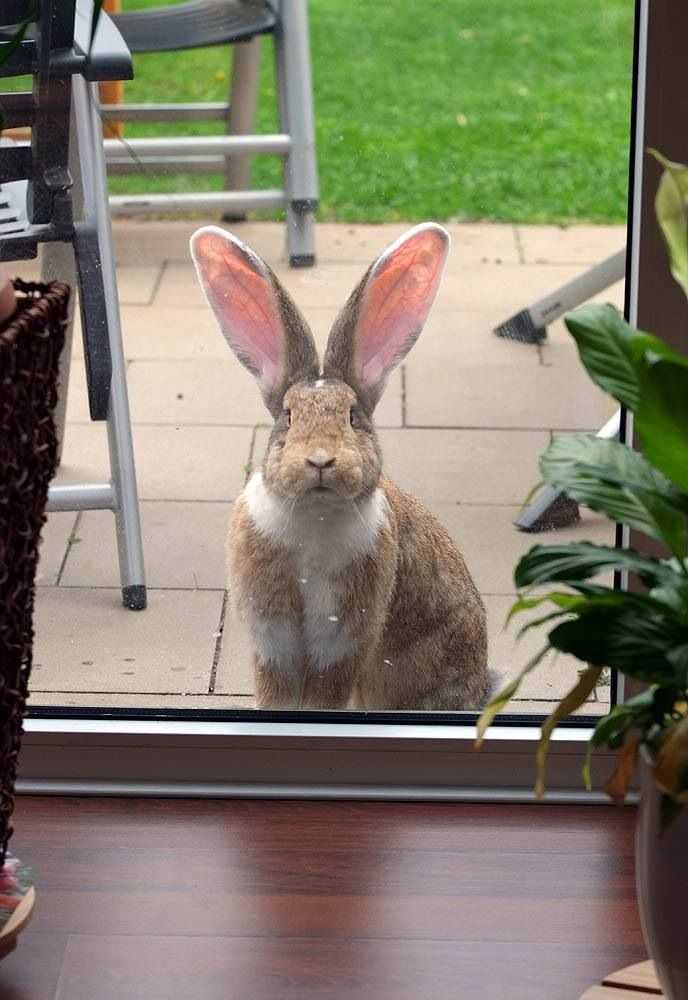 Human, let me in right now! Bunny is not amused.
