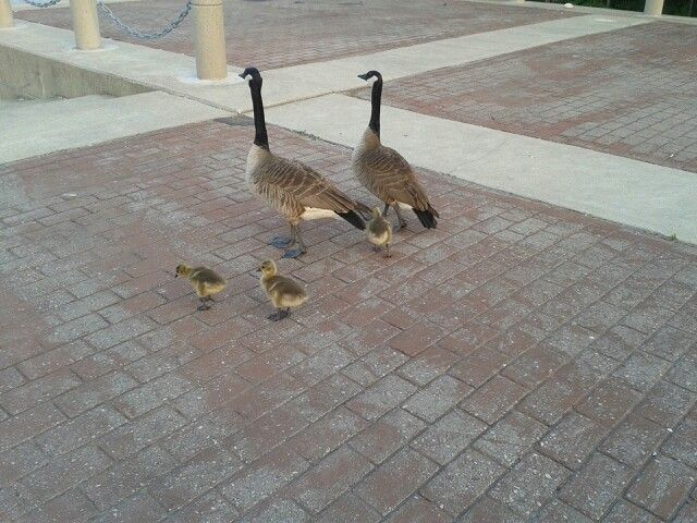 Family of Geese, Spencer Smith Park, Burlington Ontario Canada