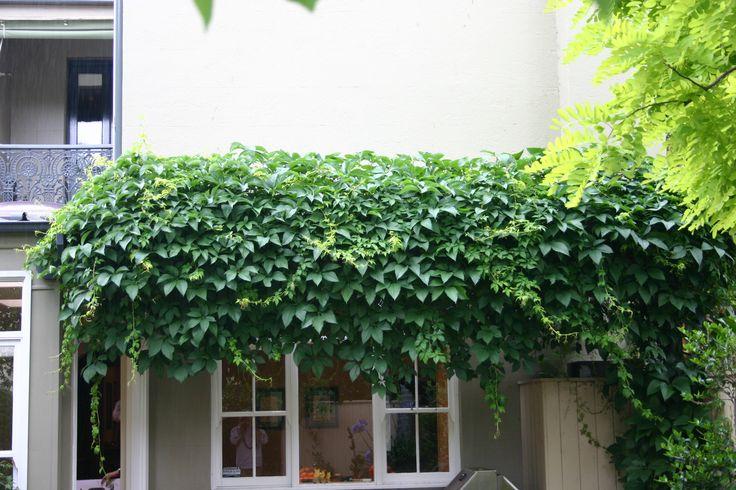 Parthenocissus quinqefolia
