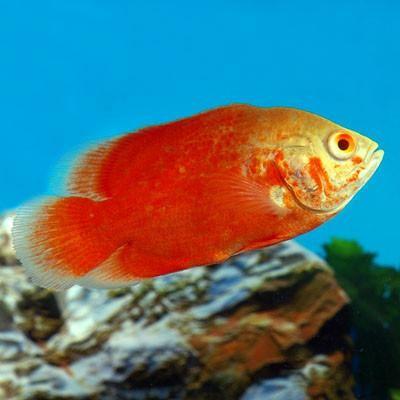 Red Oscar (Medium) | AquariumFishSale.com - Live Tropical Fish for Sale!