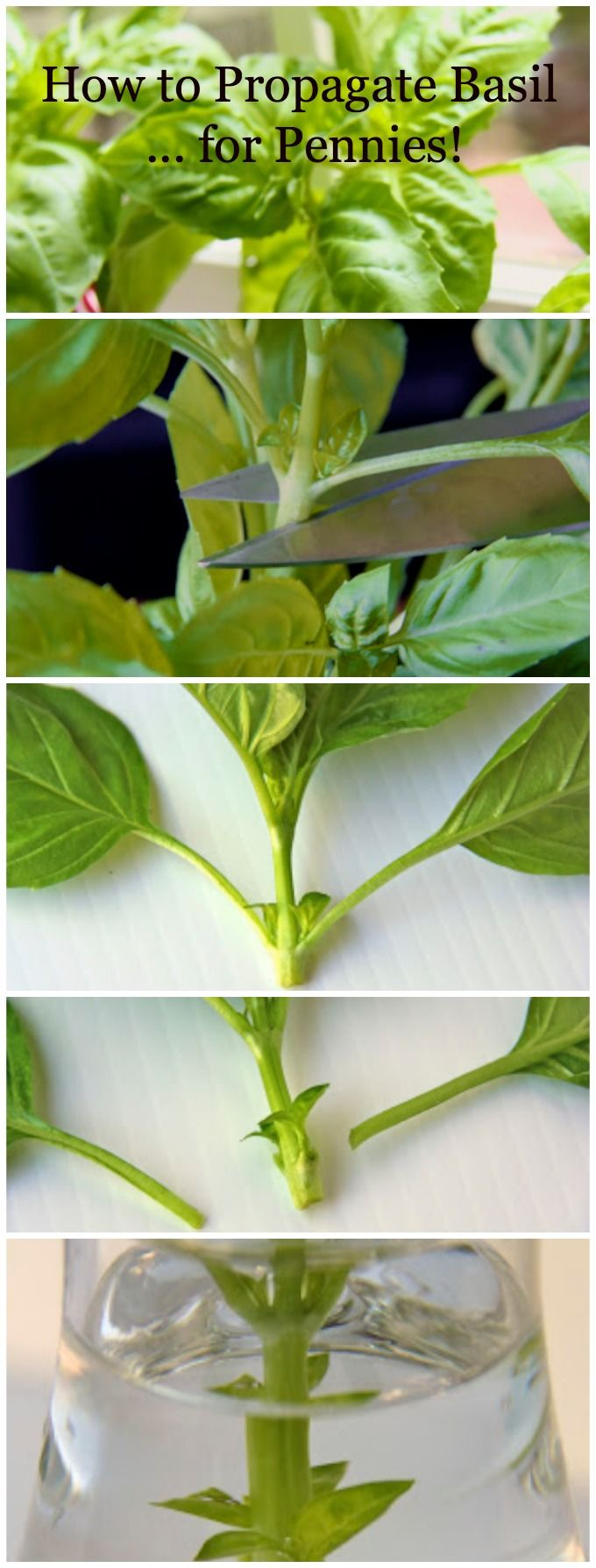 How to Propagate Basil ... for pennies! #basil