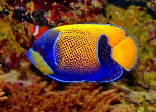 Pomacanthus navarchus: blue-girdled angelfish | Great ...