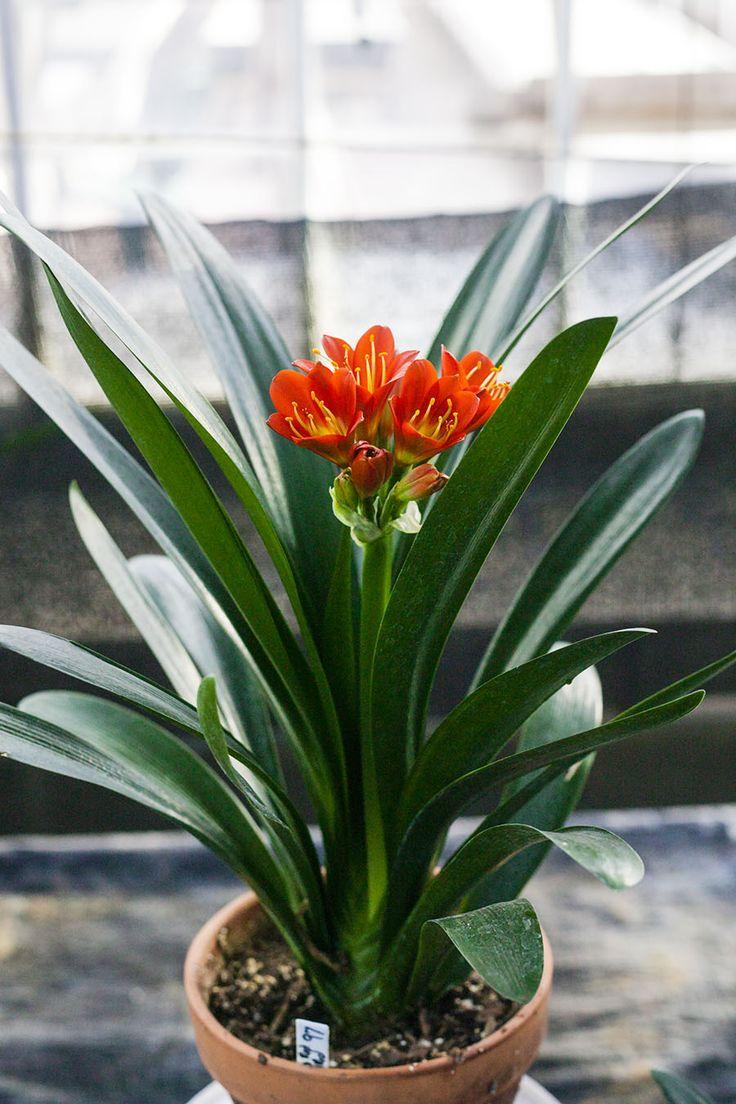 Clivia miniata, Hirao Red x TO Red.  Colorado Clivia's plant no. 97A.