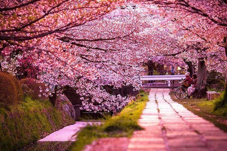 Japan Cherry Blossom Tour Garden Tour Hub Blossom Cherry Garden Hub Japan Tour Beautiful Streets Cherry Blossom Festival Nature