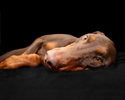 Stella - our sweet, shy, female Dobe who still rules the house. #dogs #doberman #pets