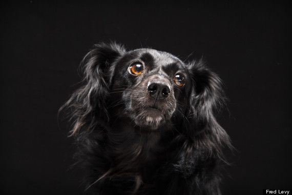 """The """"Black Dog Syndrome"""" is surely dispelled by beautiful photos of these sweet adoptable dogs by Fred Levy's extraordinary photography talents."""