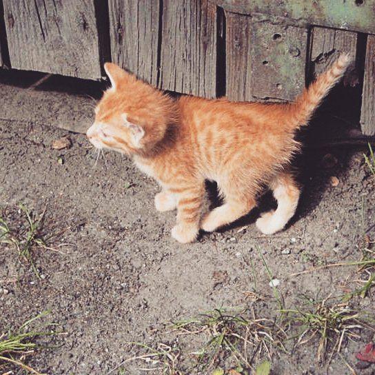 Patrz jak trzymam prosto ogon! #rudzielec #popisyprzedpania #kochany #kotek #rudy #ide #mamplanisięgotrzymam #byleprosto