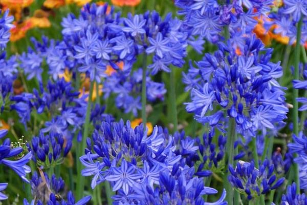 Native To South Africa Agapanthus Northern Star Is A Particularly Striking African Lily With Showy Rounded Clusters Of D African Lily Agapanthus Lily Plants