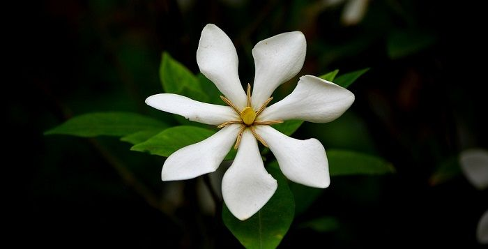 Gardenia Flower Meaning Symbolism And Colors Flower Meanings Gardenia Most Beautiful Flowers