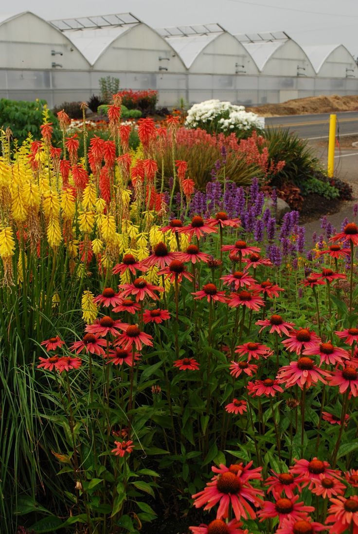 Great plant combination of red hot poker, echinacea, salvia and others