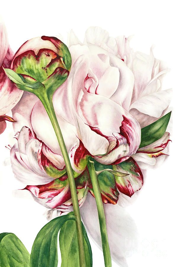 Peony And Bud Painting by Marie Burke