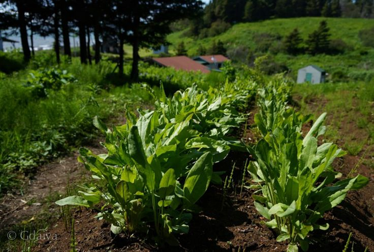 Sorrel. Perennial green that is very low maintenance, super delicious and hardy to thrive in Alaska. Visit us to experience sustainable living and gourmet adventure