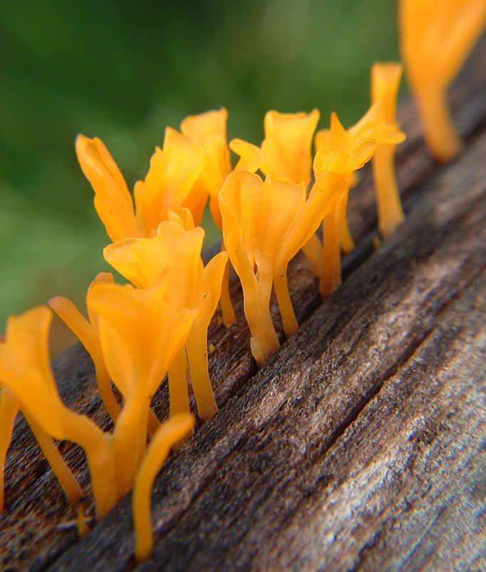 Yellow fungus/mushroom growing from within a rotting log - Photographer: Geoff McCabe