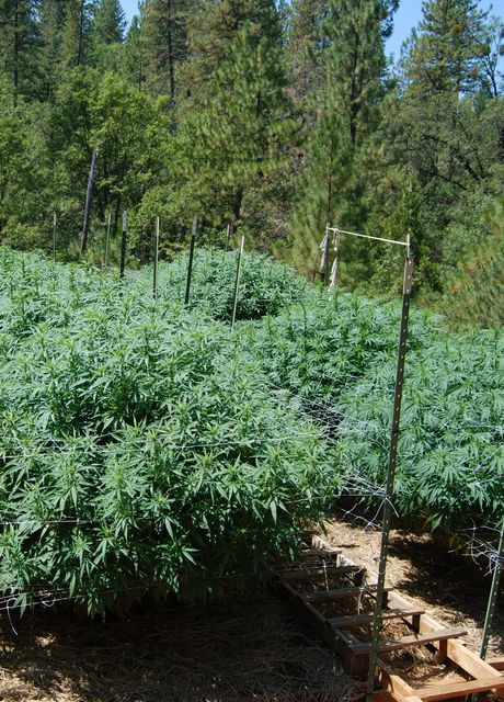 cbd-plants