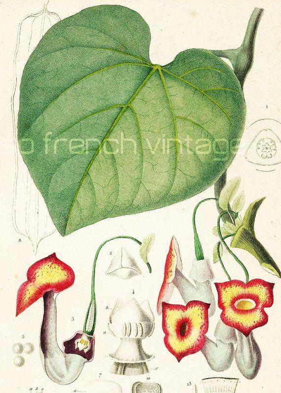 1861 Aristoloche Orbigny Planche Originale Couleurs peintes à la main Qualité Exceptionnelle Botanique Plante Fleurs décor floral