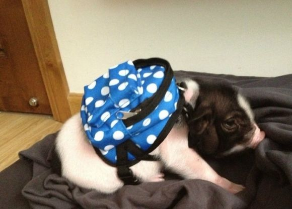 cute little pig with a blue and white polka dot backpack