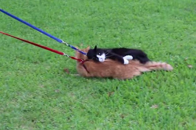 This Guy Who Tried To Walk His Cats Like Dogs Failed So Hard He Almost Won