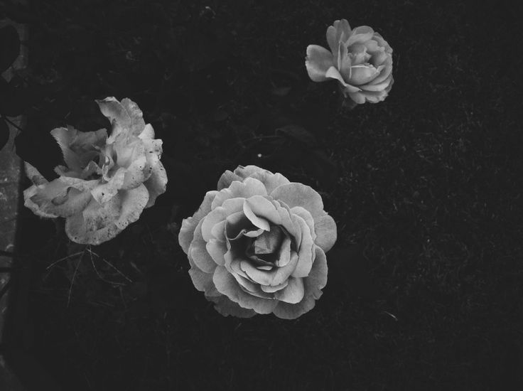 #Rose #blackwhite #natural #velvet