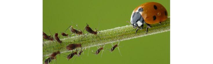 Los enemigos naturales de las #plagas y su gestión en el #huerto urbano. www.ecobrotes.es