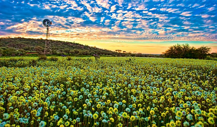 Wildflowers and windmills found in the wildflower region of Western Australia.