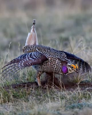 """Sharp-tailed Grouse (Tympanuchus phasianellus) is a medium-sized prairie grouse. It is also known as the sharptail, and is known as """"fire grouse"""" or """"fire bird"""" by Native American Indians due to their reliance on brush fires to keep their habitat open."""