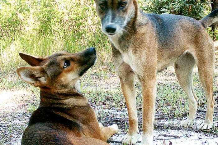 A cull needed to control wild dog numbers - Wild dogs on Tweed region's urban fringe threaten children's safety, say authorities