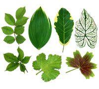 Lenagold - Клипарт - Зеленые листья