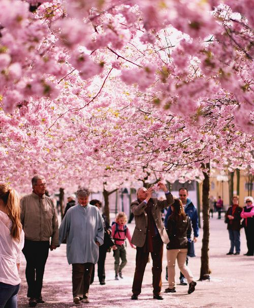 Stockholm, Sweden during cherry blossom time...