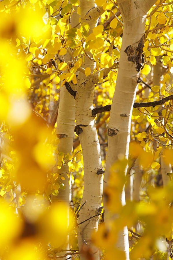 Yellow Aspen Trees Photograph  - Yellow Aspen Trees Fine Art Print