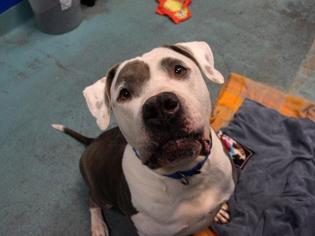 BOLO - A0895904 - - Brooklyn  TO BE DESTROYED 01/14/17 A volunteer writes: BBB, or Big Beautiful Bolo, as I like to call him, is basically a big old mushball of joy. Bolo is very friendly and playful, walks well on a leash (only pulling a little when he's excited to get outside and do his business!), and seems to be housetrained. If you're looking for a happy, sweet, playful boy whose puppy days are behind him but still has lots of love to give, come and see Bol