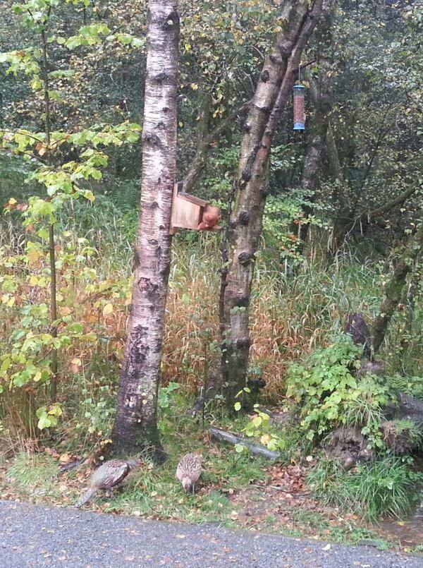 Red squirrel, great spotted woodpecker & pheasants at Eskrigg reserve feeders by Jim Rae Wildlife