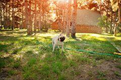 Perro raza pug de archivo libre de regalías