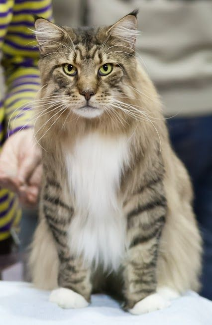 Maine coon - my old man says that I can get one - they are sooooo beautiful!!