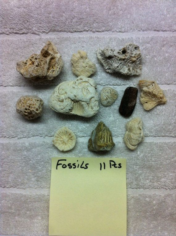 11 Beach Fossils seashells Florida Beaches for Crafts by caroledoc, $20.00