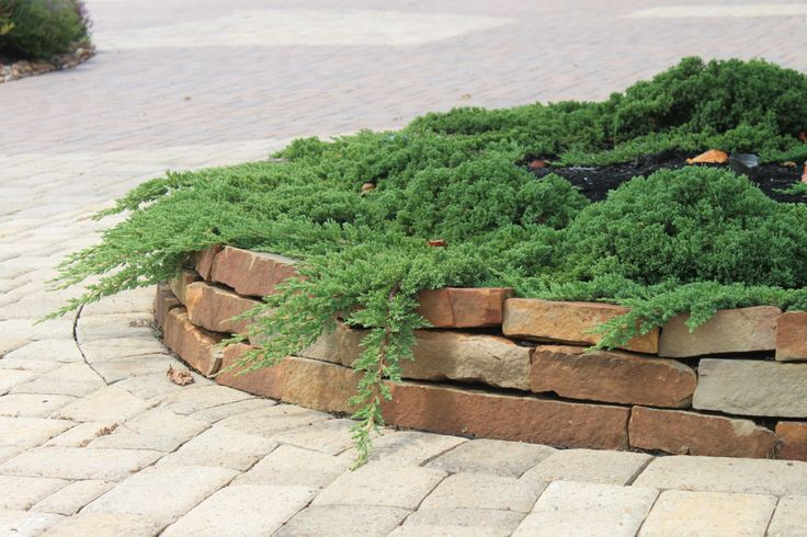 Juniper green mound this low growing evergreen ground for Low growing plants for landscaping