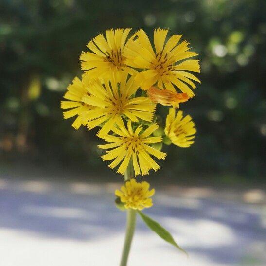 A flor,o sol,o amarelo