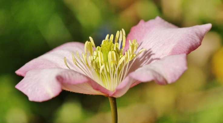Pale pink Clematis