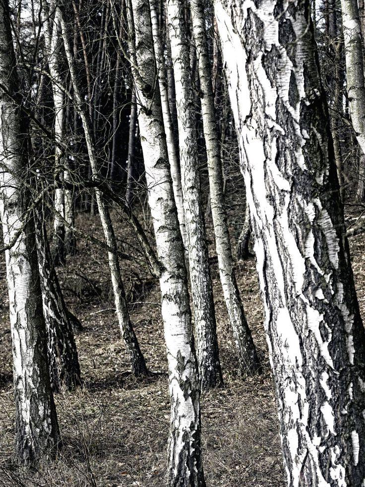 ber ideen zu fototapete birkenwald auf pinterest. Black Bedroom Furniture Sets. Home Design Ideas