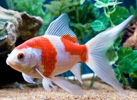 sarassa comet goldfish   Today I am adding goldfish pics to show that you can get the feel of a koi pond on a small scale if you choose goldfish carefully. A white goldfish, a sarassa comet, a couple of shubunkin, even a black goldfish - all can combine with a few common orange types to give your small water garden more impact.   With shubunkins and sarassa comets, think about what the fish look like from above.