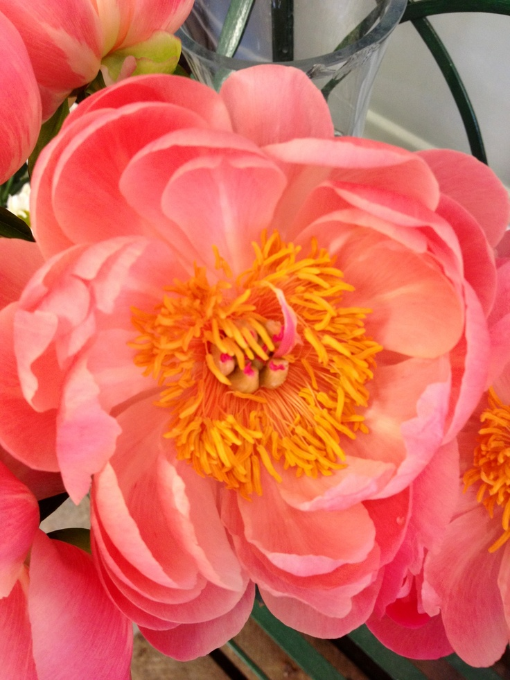 coral charm peony the flower name that flower