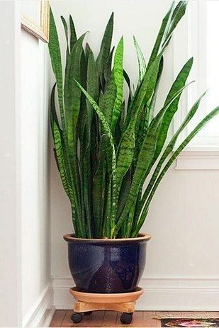 Snake Plant (Sansevieria trifasciata) | Snake plants are a super popular air-purifying house plant because they're beautiful and basically impossible to kill — the perfect option if you're a neglectful young adult.