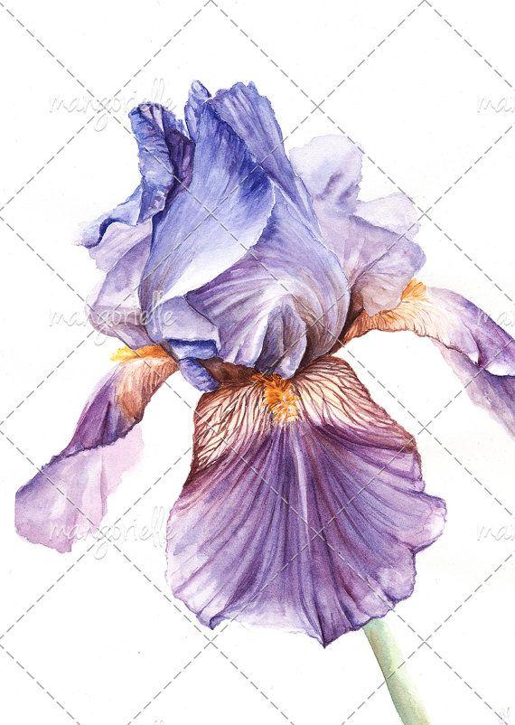 Iris - Botanical illustration - Original Watercolor & Print #iris #botanical #watercolor #botanicalillustration #flower #violet #flora #nature