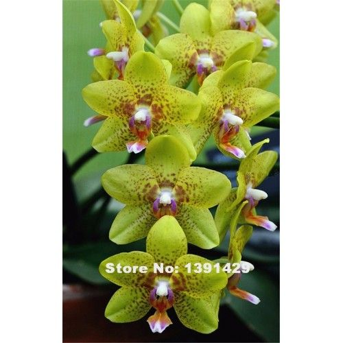 Orkidé gul