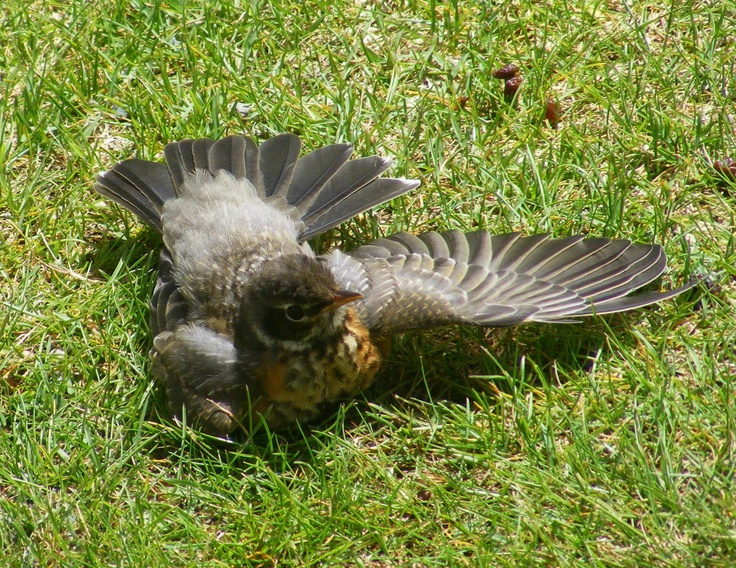 """I saw this young Robin resting on our cool lawn and spreading out its wings one at a time thinking to myself...""""so that's how it needs to be done sometimes...one wing at a time"""""""