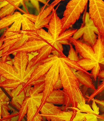 Japanese maple Katsura - this is the one I'd love in our front garden.
