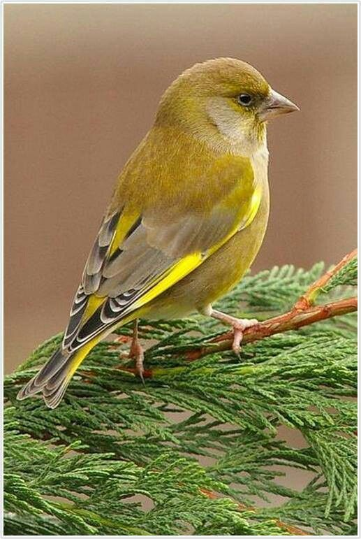 Gold Finch working on breeding plumage...