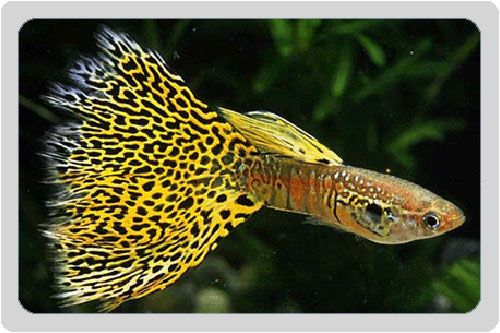 Beautiful specimen of King Cobra Guppy Fish (poecilia reticulata)