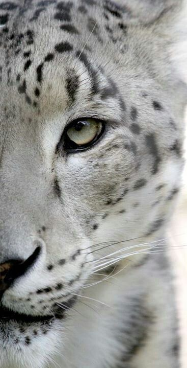 Snow leopards are insulated by thick hair, and their wide, fur-covered feet act as natural snowshoes. The poaching, destruction of habitat, and killing by herders, are contributing factors to the decline and endangerment of snow leopards.