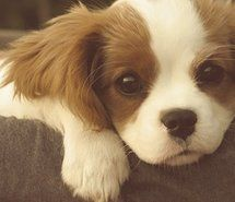 Cavalier King Charles Spaniel - although I believe it's only a King Charles if it has the thumbprint on the forehead