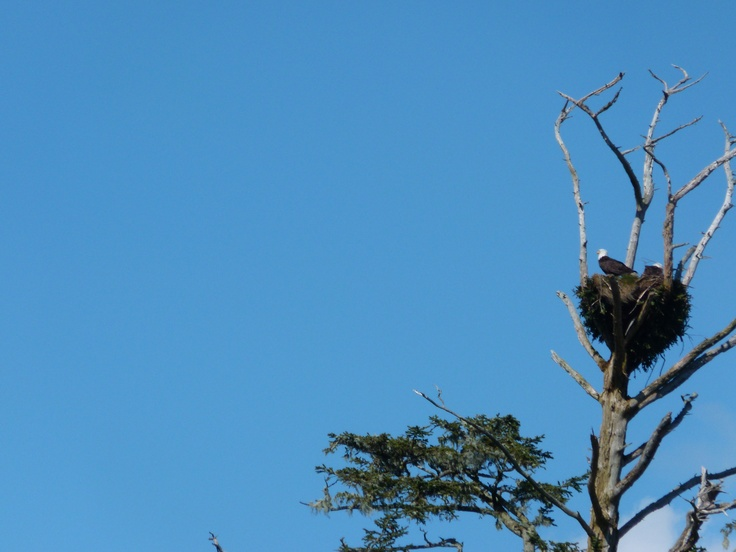 Tofino BC...Great Eagle watching